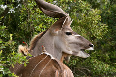 Active Kudu. At Kruger Park in South Africa Royalty Free Stock Photography