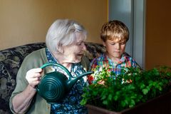 Active little preschool kid boy and grand grandmother watering parsley plants with water can at home. Little child helping grandparents to grow herbs. Happy Stock Image