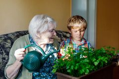 Active little preschool kid boy and grand grandmother watering parsley plants with water can at home royalty free stock image