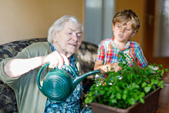 Active little preschool kid boy and grand grandmother watering parsley plants with water can at home. Little child helping grandparents to grow herbs. Happy Royalty Free Stock Photo
