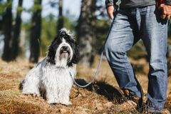 Active man have fun outdoor with Tibetan terrier dog in forest stock image