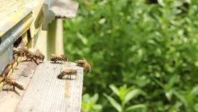 Active movement of bees near the entrance to hive stock footage