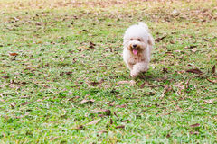 Active poodle purebred dog running and exercising at park Royalty Free Stock Photography