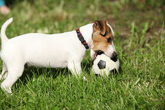 Active puppy of jack russell terrier playing Stock Photography