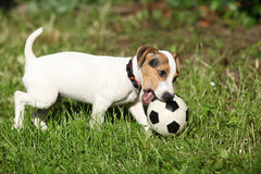 Active puppy of jack russell terrier playing Royalty Free Stock Photos