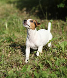 Active puppy of jack russell terrier playing Royalty Free Stock Image