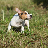 Active puppy of jack russell terrier playing Stock Image