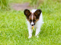 An active puppy of a papillon with a dandelion in the language runs along the green lawn. royalty free stock photo