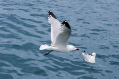 Active sea gulls seagulls over blue sea ocean Royalty Free Stock Image