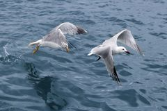 Active sea gulls seagulls over blue sea ocean Stock Images