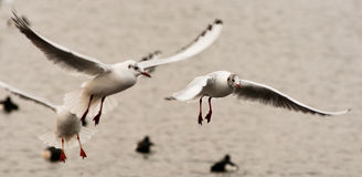 Active seagulls closeup. Closeup of seagulls energetically flapping their winds over water Stock Image