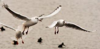 Active seagulls closeup Stock Image