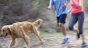 Active senior couple, in sportswear, jogging along woodland path with golden retriever, side view, low section (blurred motion) Stock Photography