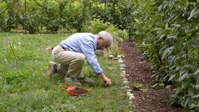 Active senior man working in his home garden, planting new born crop. stock footage