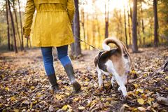 Senior woman with dog on a walk in an autumn forest. Active senior woman with dog on a walk in a beautiful autumn forest. Rear view royalty free stock photography
