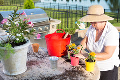 Active senior woman potting ornamental flowers. Active senior woman, wearing straw hat and summer casual clothes, while potting ornamental yellow small flowers Stock Photography