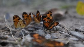 Active silvery checkerspot butterflies in mud puddle