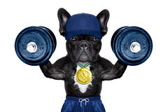 Active sport dog. Dog as  personal  trainer with gold medal lifting heavy dumbbells wearing sport shorts Stock Images