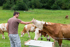 Active sporty male hiker observing and caressing pasturing cows on meadow. Royalty Free Stock Photo