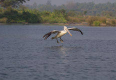Active Spot billed Pelican Royalty Free Stock Photos
