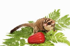Active sugar-glider Stock Photos