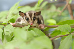 Active sugar-glider on nature. Background royalty free stock photo