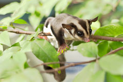 Active sugar-glider on nature Royalty Free Stock Photos