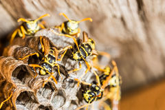 Wasp Nest. Active wasp nest, honeycomb visible stock photo