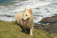 Active white pet dog happy outdoors sunny day outside in nature Royalty Free Stock Image
