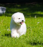 An active white puppy is walking along a green glade on a sunny day. Royalty Free Stock Photography