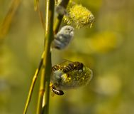 Active work of bees to collect pollen from willow flowers royalty free stock photography