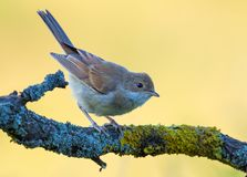 Lovely Young Common whitethroat posing on branch with clear background in sweet evening light royalty free stock photo