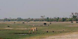 Actividad animal en Chobe Imágenes de archivo libres de regalías