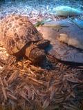 Actividad de la tortuga en parque zoológico Imágenes de archivo libres de regalías