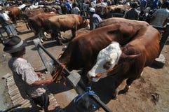 Actividad en el mercado tradicional de la vaca durante la preparación de Eid al-Adha en Indonesia Foto de archivo libre de regalías