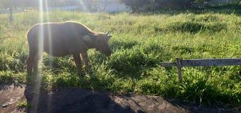 Actividades del búfalo imagen de archivo