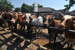 Activité au marché traditionnel de vache pendant la préparation d'Eid al-Adha en Indonésie Photographie stock libre de droits