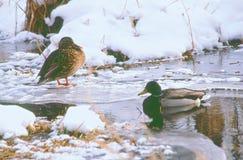 Activité de crique d'hiver de Mallard Photo stock