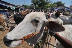 Activiteit bij traditionele koemarkt tijdens de voorbereiding van Eid al-Adha in Indonesië Stock Foto's