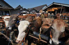 Activiteit bij traditionele koemarkt tijdens de voorbereiding van Eid al-Adha in Indonesië Stock Afbeeldingen