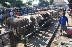 Activiteit bij traditionele koemarkt tijdens de voorbereiding van Eid al-Adha in Indonesië Stock Afbeelding