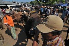 Activiteit bij traditionele koemarkt tijdens de voorbereiding van Eid al-Adha in Indonesië Royalty-vrije Stock Afbeelding