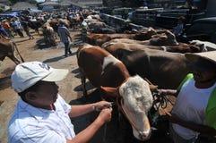 Activiteit bij traditionele koemarkt tijdens de voorbereiding van Eid al-Adha in Indonesië Stock Foto