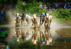 Activity sport, Vietnamese farmer, cow race Royalty Free Stock Images