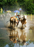 Activity sport, Vietnamese farmer, cow race Stock Images