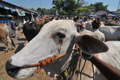 Activity at traditional cow market during the preparation of Eid al-Adha in Indonesia Stock Photos