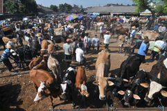 Activity at traditional cow market during the preparation of Eid al-Adha in Indonesia. KLATEN, CENTRAL JAVA, INDONESIA - September 24 :  An activities cow seller Stock Image