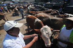 Activity at traditional cow market during the preparation of Eid al-Adha in Indonesia. KLATEN, CENTRAL JAVA, INDONESIA - September 24 :  An activities cow seller Stock Photo