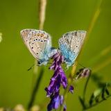 Acto de acoplamiento azul septentrional del ` s en una flor Foto de archivo