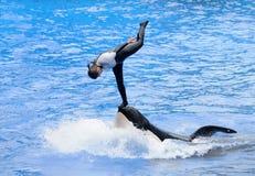 Acto del truco de la orca Fotos de archivo